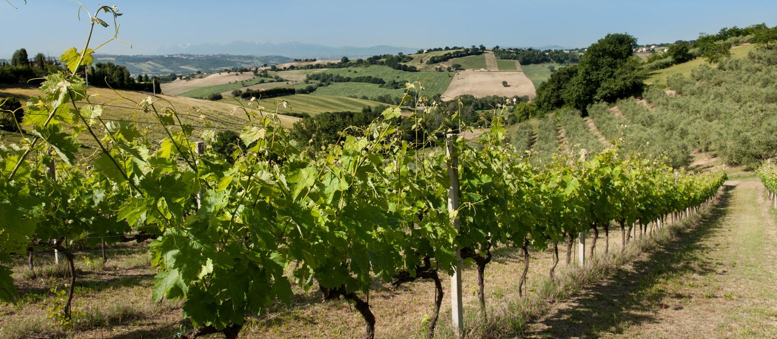 vigne-marche-vini-accattoli